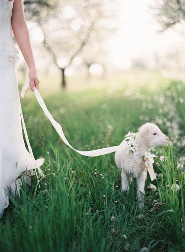 agnello - animali ai matrimoni